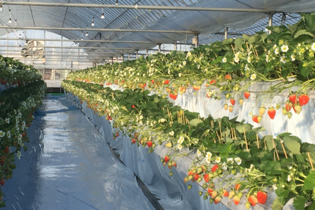 イチゴ農園
